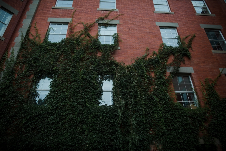 ivy covered wall on U of A building in Edmonton, Alberta
