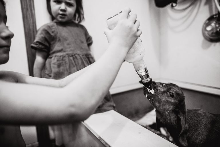 baby goat is fed with bottle