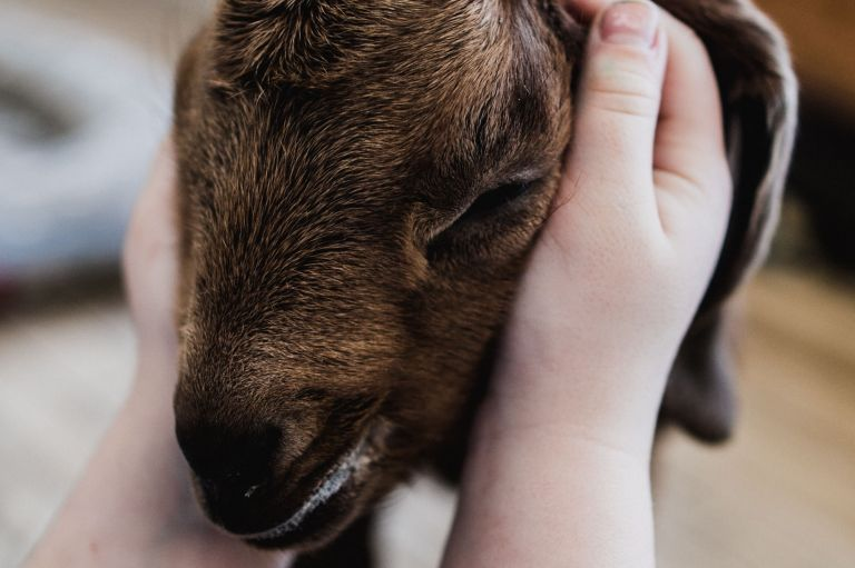 snuggles for a baby goat