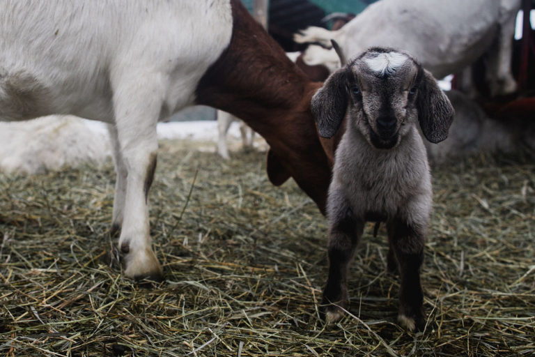 a fresh baby goat stands in the corral with its mother